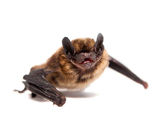Gwinnett County Bat Removal, Bat Control Georgia